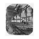 Cultivating Cacti, Paris 1857 Giclee Print