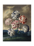 A Group of Carnations Giclee Print