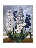 Hyacinths Giclee Print