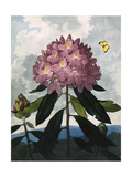 The Pontic Rhododendron Giclee Print
