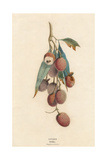 A Cluster of Lychee Fruit - China Giclee Print by A Richard