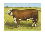 Cattle, Hereford Bull Giclee Print