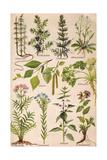 Healing Plants 1904 Pl.2 Giclee Print by Anna Fischer-Duckelmann