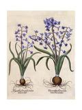 Hyacinthus Orientalis Giclee Print by Basilius Besler