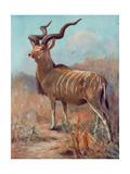 Kudu, Cuthbert Swan Giclee Print by Cuthbert Swan