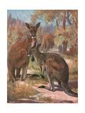 Kangaroos 1909 Giclee Print by Cuthbert Swan