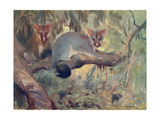 Animal, Phalanger 1909 Giclee Print by Cuthbert Swan