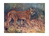 Puma in the Wild Giclee Print by Cuthbert Swan