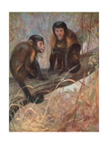 Monkeys, Capuchins, Swan Giclee Print by Cuthbert Swan
