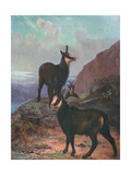 Animals, Chamois, Swan Giclee Print by Cuthbert Swan