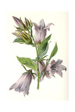Campanula Trachelium Giclee Print by F Edward Hulme