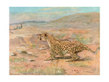 Cheetah in the Wild Giclee Print by Cuthbert Swan
