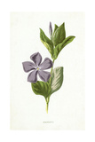 Plants, Vinca Major Giclee Print by F Edward Hulme