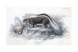 Animals, Skunk 19C Giclee Print by Col H Smith