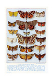 A Selection of Common British Moths Giclee Print by Ernest Aris