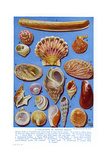 A Selection of British Shells Giclee Print by Ernest Aris