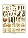 Microscopic Marine Life Giclee Print by Ebenezer Sibly