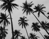 Colima Palms 2 Fotografisk trykk av Ed Fladung