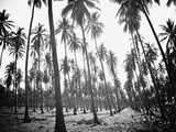 Colima Palms 1 Reproduction photographique par Ed Fladung