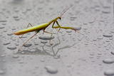 Praying Mantis Insect Photo Poster Posters