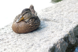 Female Mallard from Boston Common Duck Pond Photo Poster Prints