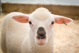 Baby Lamb With Black Nose Photo Poster Poster