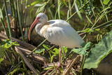 USA, Florida, Orlando, White Ibis, Gatorland Photographic Print by Lisa S. Engelbrecht