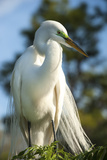 USA, Florida, Orlando, Great Egret, Gatorland Photographic Print by Lisa S. Engelbrecht