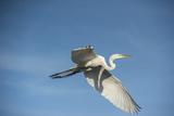 USA, Florida, Orlando, Great Egret, Gatorland Photographic Print by Lisa S. Engelbrecht