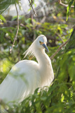 USA, Florida, Orlando, Snowy Egret, Gatorland Photographic Print by Lisa S. Engelbrecht