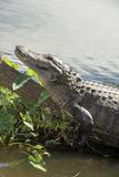 USA, Florida, Orlando, Alligator, Gatorland Photographic Print by Lisa S. Engelbrecht