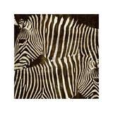 Zebras Giclee Print by Darren Davison