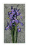 Purple Iris ジクレープリント : ジョン・セバ