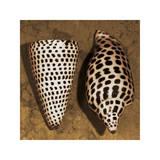 Cone Seashell Giclee Print by Caroline Kelly