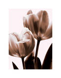 Tulip in Sepia II Giclee Print by Caroline Kelly
