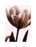 Tulip in Sepia I Giclee Print by Caroline Kelly