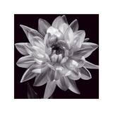 White Dahlia I Giclee Print by Caroline Kelly