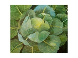 Cabbage (Blue), 2014 Giclee Print by Jennifer Abbott