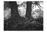The Mighty Oak Plakaty autor Martin Henson