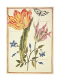 Two 'Broken' Tulips and a Periwinkle Giclee Print by Nicolas Robert