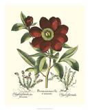 Red Besler Peonie I Giclee Print by Basilius Besler
