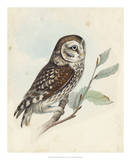 Meyer Little Owl Giclee Print by H. l. Meyer