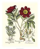 Red Besler Peonie IV Giclee Print by Basilius Besler