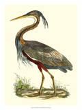 Purple Heron Giclee Print by John Selby