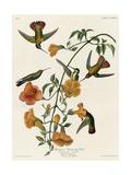 Mangrove Hummingbird Impression giclée