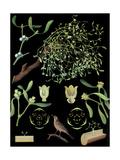 Mistletoe Giclee Print