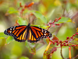 Monarch 3 Photographic Print by Dennis Goodman