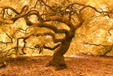 Japanese Maple 2 Photographic Print by Moises Levy