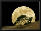 Windswept Live Oak Tree and Rising Full Moon at Night Framed Photographic Print by Diane Miller