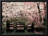 Cherry Blossoms, Mishima Taisha Shrine, Shizuoka Framed Photographic Print